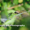 Banana Spider, Cullinan Park, Sugar Land, Texas