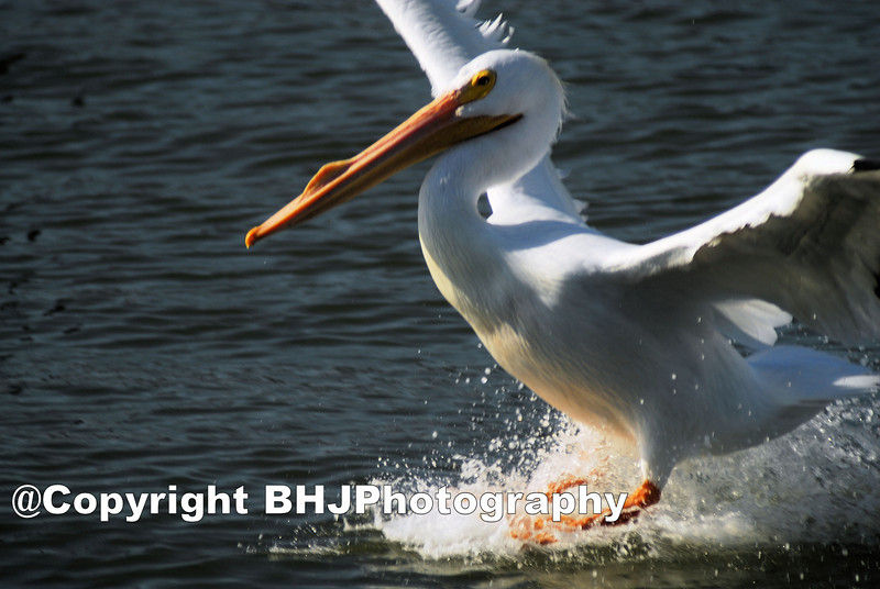White Pelican, Galveston, Texas, 2007