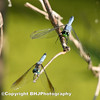 Two Blue Dragon-flies I, Cullinan Park, SugarLand, Texas, 2008