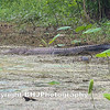 American alligator, Cullinan Park, Texas, 2011