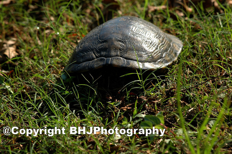 The Shy Turtle, Cullinan Park, SugarLand, Texas, 2009