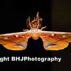 The Antheraea polyphemus is part of the Wild Silk Moth (Saturniidae) family.