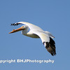 White Pelican, Galveston, Texas, 2007