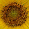 Sunflower pattern, Katy, Texas, 2006