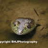 Bull frog chillin in Cullinan Park, Sugar Land, TX during the long drought days of summer (2011).