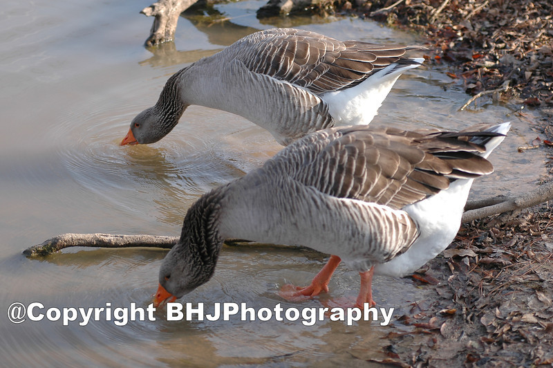 Morph Goose, Bush Park, Houston, Texas, 2006