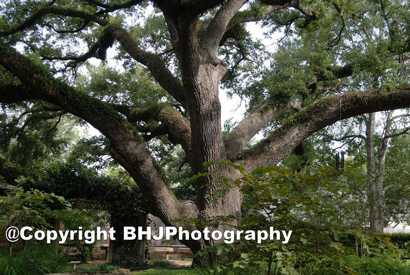 The Old Tree, Richmond, Texas, 2009