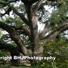 The Old Tree, Richmond, Texas, 2009