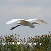 Great Egret I, Storey Park, Houston, Texas, 2007