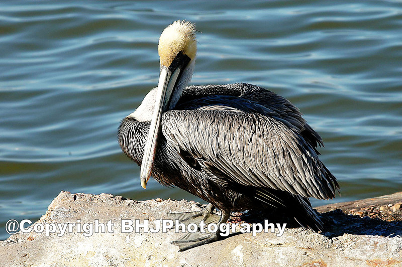 Brown Pelican, Galveston, Texas
