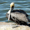 Brown Pelican, Galveston, Texas