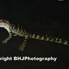 Baby gator, Cullinan Park, SugarLand, Texas
