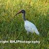 Ibis, Cullinan Park, SugarLand, Texas 2007