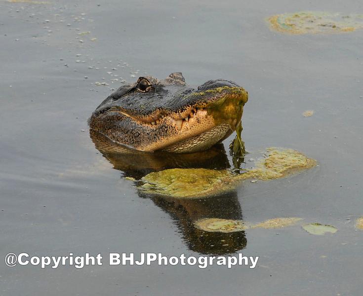 Veggie-eating American alligator, Brazos Bend State Park, Texas, 2009