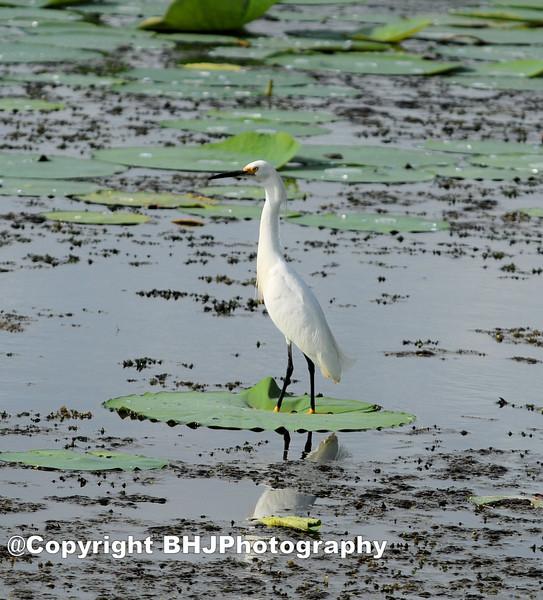 Little Blue Egret I, Cullinan Park, SugarLand, Texas, 2007