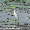 Little Blue Egret I, Cullinan Park, SugarLand, Texas, 2007