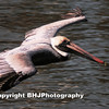 Brown Pelican, 001, Galveston, Texas,  2008