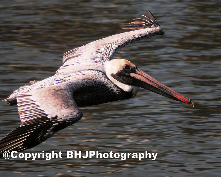 Brown Pelican, 001, Galveston, Texas,  2008