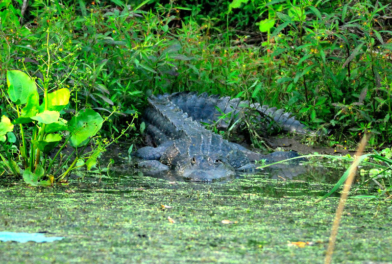 American alligator, Brazos Bend State Park, Texas, 2009