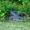 American alligator, Brazos Bend State Park, Texas, 2009