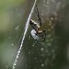 Banana Spider, Cullinan Park, Sugar Land, Texas