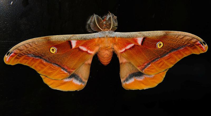 The Antheraea polyphemus is part of the Wild Silk Moth (Saturniidae) family.