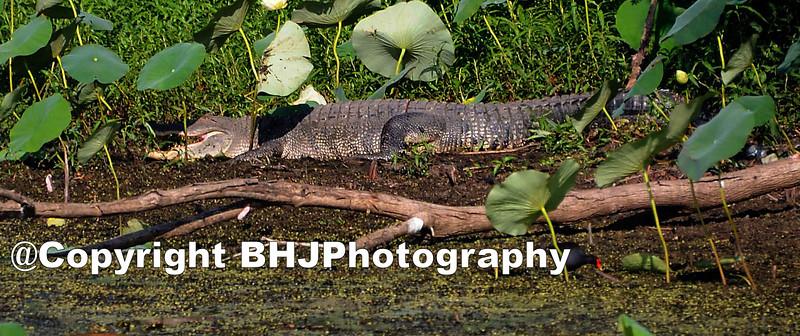 Alligator in Cullinan Park, Sugar Land, TX