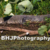 Alligator in Cullinan Park, Sugar Land, TX