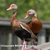 Black-bellied Whistling Ducks I, Cullinan Park, SugarLand, Texas 2007