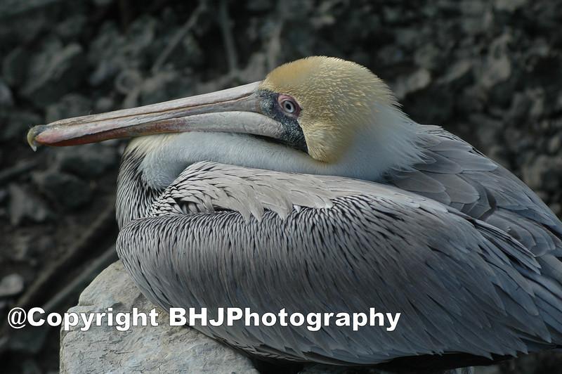 Brown Pelican, Galveston, Texas, 2007