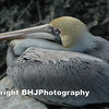 Brown Pelican, Galveston, Texas, 2007