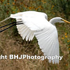 Great Egret II, Storey Park, Houston, Texas, 2007