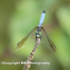 Blue Dragon-fly I, Cullinan Park, Sugar Land, Texas, 2008