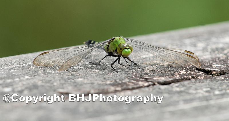 Green Dragon-fly II, Cullinan Park, SugarLand, Texas, 2008