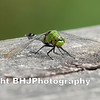 Green Dragon-fly II, Cullinan Park, SugarLand, Texas, 2008