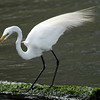 White Egret, Galveston, Texas, 2008
