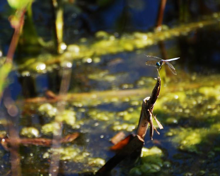 Blue-eye Dragonfly