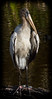 Juvi Wood Stork
