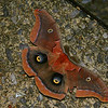 Family: Wild Silk Moths (Saturniidae)<br /> Antheraea polyphemus<br /> Wing span: 3 15/16 - 5 7/8 inches (10 - 15 cm).