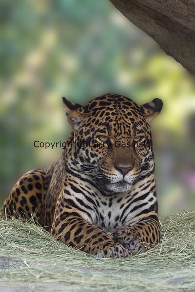 Jaguar at the San Diego Zoo.