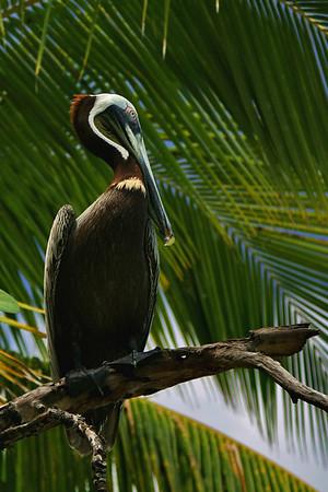 Pelican Pete; St. John, USVI