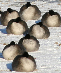 Cold Geese Resting