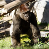 Gorilla at the San Diego Zoo.