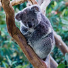 Koala Bear at the San Diego Zoo.