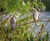 Hawk Duo