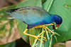 Purple Gallinule II