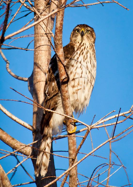 Cooper's Hawk II