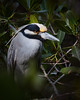 Yellow-Crowned Night Heron<br /> Ding Darling NWR