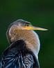 Anhinga Portrait,<br /> Wadokahatchee Wetlands<br /> Delray, Florida