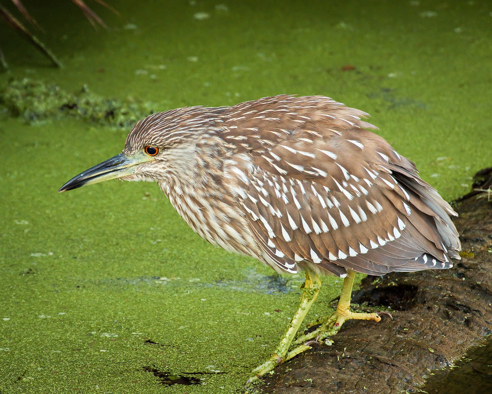 Juvi Black-Crowned Night Heron